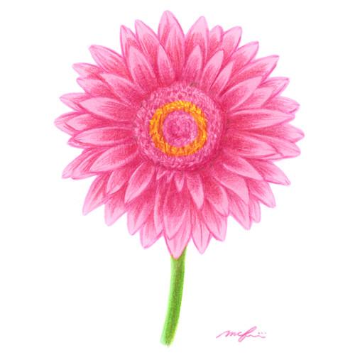 160506_gerbera_pink01