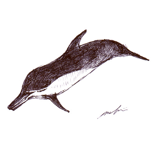 160508_delphinus_capensis_01